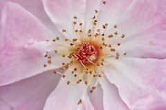 rose (Francis Mansell) Tags: rose flower petal stigma anther stamen plant macro kew kewgardens royalbotanicgardenskew style
