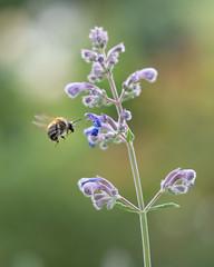 Catmint photobomber (susie2778) Tags: olympus omdem1mkii olympusm60mmf28macro macro mft flower bordehillgarden bokeh catmint bee