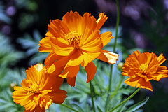orange cosmos (scott1346) Tags: flowers colors orange green beauty sunlit illumination petals delicate plant growth gift 1001nights 1001nightsmagiccity canont3i closeup garden 1001nightsmagicgarden autofocus contactgroups