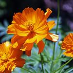 orange cosmos thumbnail