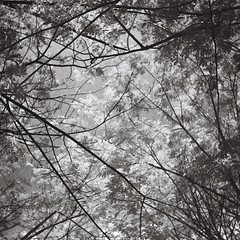 Branch (bdrc) Tags: agnar isolette 85mm f45 prime manual folding camera 6x6 suqare medium format mediumformat classic vintage legacy relic bw blackandwhite black white monochrome infrared red filter rollei retro 400s negative film old malaysia malaysiaphotographer tree leaf nature plant flora analogue