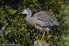 White Faced Heron (stanley.ashbourne) Tags: australia holiday whitefacedheron wildlife nature brisbane bird