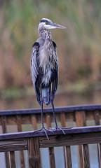 09-01-18-0033667 (Lake Worth) Tags: animal animals bird birds birdwatcher everglades southflorida feathers florida nature outdoor outdoors waterbirds wetlands wildlife wings