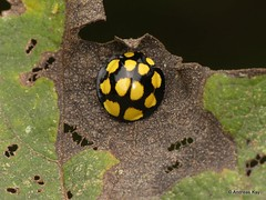 Lady Beetle, Neda aequatoriana or norrisi or Anatis lebasi? (Ecuador Megadiverso) Tags: beetle birdwatcherslodge coccinellidae coleoptera ladybeetle mindo nedaaequatoriana nedanorrisi