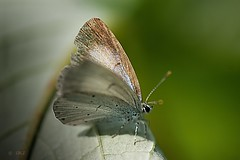Celastrina argeolus (Greet N.) Tags: animal insect butterfly outdoor august macro hollyblue nature