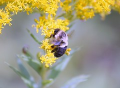 Another bumble bee (DCHall) Tags: bumblebee norwoodmillpondforesttrail ontario closeup canon 40d eos canon40d nature savethebees goldenrod