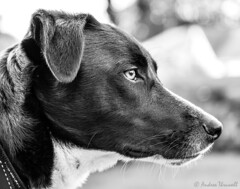 Thoughtful Pup (manxmaid2000) Tags: dog head profile collie monochrome pet eye canine blackandwhite portrait animal depthoffield fuji dof ear whiskers calm concentration eyes loyal companion nose gentle