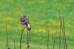 Resting Buzzard (Picturavis) Tags: mäusebussard niederbachem rodderberg vogel buteobuteo deutschland germany animal bird birdofprey raubvogel commonbuzzard