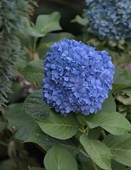 Hydrangea  Flower Cluster (Scott 97006) Tags: flower cluster hydrangea blue nature beauty pretty