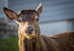 Female red deer #2 (Dan Österberg) Tags: deer reddeer wildlife urban animals