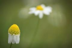 *** (pszcz9) Tags: przyroda nature natura naturaleza kwiat flower zbliżenie closeup bokeh beautifulearth sony a77
