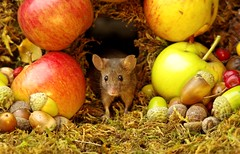 Wild garden house mouse in a Autumn  setting  (9) (Simon Dell Photography) Tags: wild garden house mouse nature animal cute funny fun moss covered log pile acorns nuts berries berrys fuit apple high detail rodent wildlife eye ears door home sheffield ul old english country s12 simon dell apples autumn fall winter fruits seasonal photography