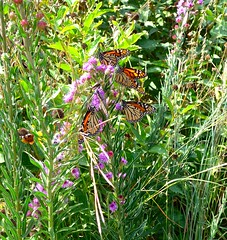 Monarchs (ali eminov) Tags: wayne nebraska prairieflowers insects monarchbutterflies danausplexippus butterflies