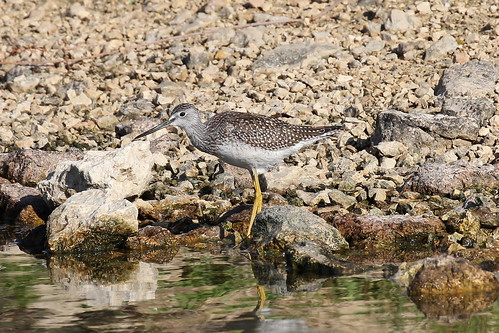Greater Yellowlegs; Tringa melanoleuca