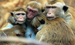 Toque macaque Berlijn Zoo JN6A5178 (j.a.kok) Tags: animal aap azie asia mammal macaque makaak macaca toquemacaque ceylonkroonaap monkey kroonaap ceylon zoogdier dier primate primaat berlijn berlijnzoo