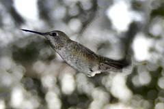 Speeding Bullet Anna's Hummingbird in Ramona, California on September 11, 2018 (Ramona Pioneer Girl) Tags: annashummingbird hummingbird annas speeding speedy flight bullet birdinflight 500 views