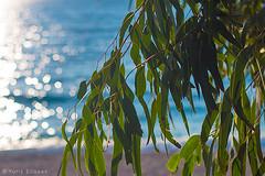 Sunny mood (yuriye) Tags: yuriye yuryelysee summer sun boke sea bech tree leave leaves листья море солнце лето отдых настроение glare блеск блик ива willow light свет positive