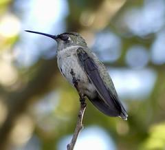 That Time of Day For Naps in Ramona, California on September 14, 2018 (Ramona Pioneer Girl) Tags: annashummingbird annas perched sleep sleeping napping birding bird hummingbird 500 views