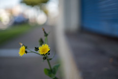 Street weed (OzzRod) Tags: sony a7rii smcpentaxfa43mmf19 street weed complementarycolours bokeh