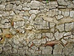 Fallen Branch (Martin Pettitt) Tags: 2018 bark burystedmunds compactcamera digitalcamera fallenbranch finepix fujifilmf610 hardwickheath heath outdoor park suffolk trees uk