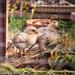 Pour un jardin bio, le meilleur des pesticides._DSC4224