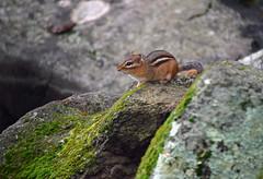 The Enforcer (MTSOfan) Tags: chipmunk rodent tamias boulders ferocious rock moss lichen