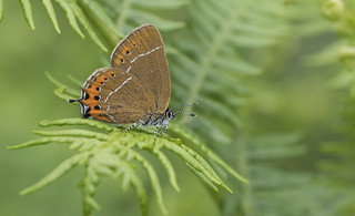 Black Hairstreak (Satyrium pruni).