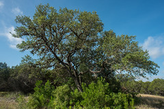 Live Oak - Government Canyon State Natural Area - Bexar County - Texas - 13 August 2017 (goatlockerguns) Tags: live oak government canyon state natural area bexar county texas park usa unitedstatesofamerica nature south southern southwest forest woods trees tree trail hiking hillcountry