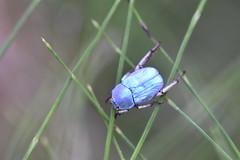 Hoplia coerulea (esta_ahi) Tags: torrentdemasmoió hoplia coerulea hopliacoerulea melolonthinae scarabeidae coleoptera insectos fauna fontrubí penedès barcelona spain españa испания