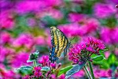 Butterfly-7912 (MVMoore59) Tags: longwood longwoodgardens summer2018 latesummer insect butterfly color