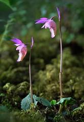 20180525-012P (m-klueber.de) Tags: 20180525012f 20180525 2018 mkbildkatalog skandinavischeflora flora nordeuropa nordisch pflanzenwelt pflanze europäische skandinavische skandinavien scandinavia schweden sweden sverige orchidee orchidaceae calbulb calypso bulbosa norne fairy slipper jämtland östersund 20180525012p portfolio bildauswahl