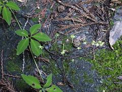 アマチャヅル (mayfly jpn) Tags: 野草 山の花