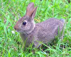DSC_0248 (RachidH) Tags: rabbit wildrabbit lapin lapinsauvage baby kit easterncottontail sylvilagusfloridanus lapinàqueueblanche lapindefloride sparta newjersey nj rachidh nature