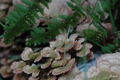 4-DSC_0003 (adamsshawn390) Tags: mushroom bark birch fern turkey tail fungi