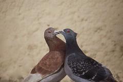 The love is in the air (Carlos Santos - Alapraia) Tags: pomba pigeon ngc ourplanet animalplanet canon nature natureza wonderfulworld highqualityanimals unlimitedphotos fantasticnature birdwatcher ave bird pássaro