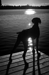 to jump or not to jump (ella~d) Tags: lake lakemoose minnesota cabin summer vacation dog blackwhite silhouette romeo pentax