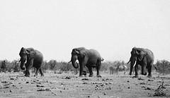 BullBW (Wolfram Burner) Tags: kruger sa southafrica wildlife conservation natural history naturalhistory wolfram burner africa