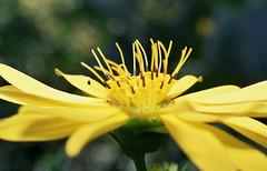 Secret of the Golden Flower (Jetcraftsofa) Tags: nikonf3 micronikkor5528 kodak colorplus200 35mm slr filmphotography hana flower reaching sunlight availablelight macro pistils stamen petals bokeh inneralchemy meditation tao