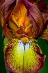 Iris (Tony Shertila) Tags: eglwysfâch eglwysbachcommunity gbr unitedkingdom wales geo:lat=5323356520 geo:lon=380131245 geotagged 20180527130704walesbodnantgardenslr europe britain bodnant nationaltrust bodnantgardens iris flower petal
