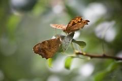 (Carlos Santos - Alapraia) Tags: borboleta butterfly ngc ourplanet animalplanet canon nature natureza wonderfulworld highqualityanimals unlimitedphotos fantasticnature