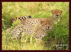FEMALE CHEETAH WITH HER CUB (Acinonyx jubatus).....MASAI MARA....SEPT 2017. (M Z Malik) Tags: nikon d800e 400mmf28gedvr kenya africa safari wildlife masaimara keekoroklodge exoticafricanwildlife exoticafricancats flickrbigcats cheetahfamily cheetahcubs ngc npc