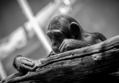 Schimpanse in SW (maik_sen) Tags: schimpanse chimpanzee schwarzweis blackwhite hände hands tier animal nature natur augen eyes monochrom monochrome bw ast branch