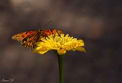 Colors of September (Irina1010) Tags: flower zinnia yellow butterfly insect bokeh nature beautiful canon september colorful ngc coth5
