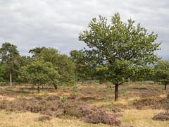 Schapenpark (Jeroen Hillenga) Tags: schapenpark drenthe heide netherlands nederland natuur nature natuurgebied natur landscape landschap heather