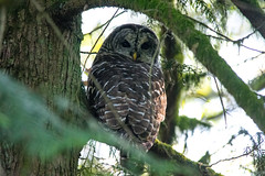 Barred Owl (Eric Shwonek) Tags: shwonek naturephotography nature outdoors wildlife birds birdsofwashington raptors owls barredowl