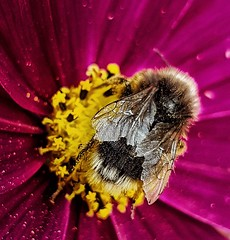 Bee-utiful! 🐝 (LeanneHall3 :-)) Tags: bee yellow black wings insect pink cosmos petals closeup closeupphotography macro macrophotography macrounlimited samsung