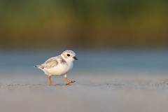 Piping Plover (PeterBrannon) Tags: beach bird charadriusmelodus florida nature pipl pipingplover sand shorebird tampa wildlife closeup ocean plover walking
