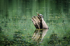 In the Morning Sun (Valery Goloha) Tags: вода озеро пень пруд фауна черепаха animal turtle water lake ukraine nature wild