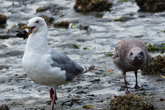 20180909 Oak Bay Gulls