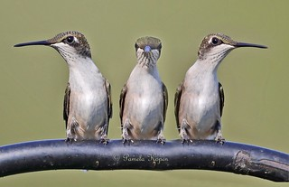 Watching tennis? Composite- same hummer, three shots seconds apart - (No self-respecting hummingbirds would ever sit calmly, side by side)